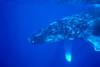 Hawaii, Close-Up Side View Of Humpback Whale (Megaptera Novaeangliae) Underwater PosterPrint - Item # VARDPI2002041