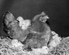 Hen with its chicks Poster Print - Item # VARSAL25529767