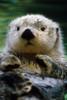Sea Otter Swimming At Tacoma Zoo Captive Poster Print (8 x 10) - Item # MINDPI2146533