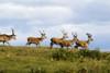 Isle Of Islay, Scotland; Deer On The Top Of A Hill PosterPrint - Item # VARDPI1871776