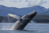A Humpback Whale Breaches As It Leaps From The Calm Waters Of Stephens Passage Near Tracy Arm In Alaska's Inside Passage. Admiralty Island's Forested Shoreline Beyond, Tongass Forest. PosterPrint - Item # VARDPI2332253