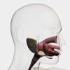 Medical illustration of the human digestive system; salivary glands, esophagus, and oral cavity Poster Print - Item # VARPSTSTK700251H