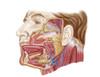Anatomy of human salivary glands Poster Print - Item # VARPSTSTK700553H