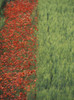 Line Of Red Poppies In Wheat Field In Provence, France. PosterPrint - Item # VARDPI2194957