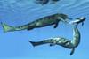 Two Metriorhynchus marine reptiles try to capture a Coelacanth fish in Jurassic seas Poster Print - Item # VARPSTCFR200232P