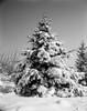 Snow covered spruce tree Poster Print - Item # VARSAL255416194
