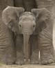 Big Ears Baby Elephant Poster Poster Print - Item # VARPYRMPP50157