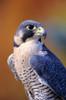 Close up of adult male Peregrine Falcon PosterPrint - Item # VARDPI1978505