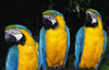 Three Parrots PosterPrint - Item # VARDPI1788935