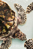 Elevated view of Sea turtle, Old Hegg Turtle Sanctuary, Park Bay, Bequia, Saint Vincent And The Grenadines Poster Print by Panoramic Images - Item # VARPPI162956