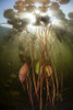 Sunlight shines down on lily pads growing in a freshwater lake in New England. Poster Print by Ethan Daniels/Stocktrek Images - Item # VARPSTETH400884U