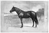 Kremlin, 1902. /Namerican Racehorse. Illustration, 1902. Poster Print by Granger Collection - Item # VARGRC0370214