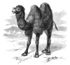 Bactrian Camel. /Nwood Engraving, 19Th Century. Poster Print by Granger Collection - Item # VARGRC0062119