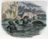 Manatee, 19Th Century. /Nascribed By Some As The Source Of The Legend Of The Mermaid: Engraving, 19Th Century. Poster Print by Granger Collection - Item # VARGRC0044750