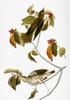 Audubon: Thrush. /Nwood Thrush (Hylocichla Mustelina), From John James Audubon'S 'The Birds Of America,' 1827-1838. Poster Print by Granger Collection - Item # VARGRC0007620