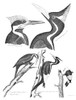 American Ornithology. /N1. Ivory-Billed Woodpecker 2. Pileated Woodpecker 3. Red-Headed Woodpecker. Line Engraving From Alexander Wilson'S 'American Ornithology,' 1808-1814. Poster Print by Granger Collection - Item # VARGRC0082639