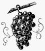 Botany: Grapes. Poster Print by Granger Collection - Item # VARGRC0030733