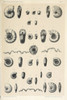 Fossils: Ammonites. /Nvarious Ammonites Found At Djebel Ouasch, Algeria. Lithograph, C1890. Poster Print by Granger Collection - Item # VARGRC0353255