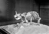 Dinosaur Skeleton, C1915. /Na Dinosaur Skeleton On Exhibit In Washington, D.C., C1915. Poster Print by Granger Collection - Item # VARGRC0127025