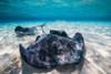 Southern stingrays on the sandbar in Grand Cayman, Cayman Islands Poster Print by Jennifer Idol/Stocktrek Images - Item # VARPSTJDL400154U