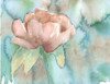 Blush Rose Poster Print by Beverly Dyer - Item # VARPDXBDRC123A
