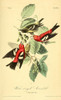 Birds of America 1844 White-winged Crossbill Poster Print by  J.J. Audubon - Item # VARPPHPDP90163