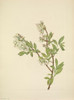 N. American Wild Flowers 1925 Highbush Blueberry Poster Print by  Mary V. Walcott - Item # VARPPHPDA69247