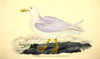 Naturalist's Repository 1824 Glaucous Gull Poster Print by  E. Donovan - Item # VARPPHPDP84129
