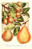 Chase Fruit & Flowers 1922 Pears 1 Poster Print by Unknown - Item # VARPPHPDA67659