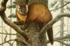 Wild Animals of N. America 1918 Marten or American Sable Poster Print by  L.A. Fuertes - Item # VARPPHPDP87060