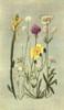 Sub-Alpine Plants 1912 Genista et al Poster Print by  George J. Flemwell - Item # VARPPHPDP84346