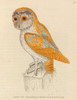 The Birds of Great Britain 1795 White Owl Poster Print by  W. Lewin - Item # VARPPHPDP89675