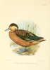 Game-birds of South Africa 1912 Hottentot Teal Poster Print by  C.G. Davis - Item # VARPPHPDP87019