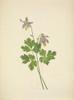 N. American Wild Flowers 1925 Shortspur Columbine Poster Print by  Mary V. Walcott - Item # VARPPHPDA64504