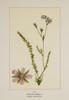 Wild Flowers of America 1894 Purplish Horkelia Poster Print by Unknown - Item # VARPPHPDA62392