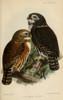 Ibis 1886 Northern Pygmy Owl Poster Print by  John G. Keulemans - Item # VARPPHPDP88745