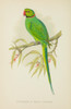 Parrots in Captivity 1884 Ring-necked Parakeet Poster Print by  A.F. Lydon - Item # VARPPHPDP91490