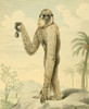 Musei Leveriani 1792 Long-armed Gibbon Poster Print by  Charles R. Ryley - Item # VARPPHPDA70198