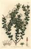 Pointed-Leaved Pernettia  Gaultheria Mucronata Poster Print By ® Florilegius / Mary Evans - Item # VARMEL10935206