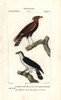 Long-Crested Eagle  Lophaetus Occipitalisà Poster Print By ® Florilegius / Mary Evans - Item # VARMEL10936164