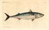 Atlantic Mackerel  Scomber Scombrus Poster Print By ® Florilegius / Mary Evans - Item # VARMEL10940612
