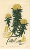 Villous Priestleya  Priestleya Villosa Or Xipothecaà Poster Print By ® Florilegius / Mary Evans - Item # VARMEL10934977