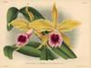 Rayon D'Or Sub-Variety Of Laelia Grandis Tenebrosa Orchid Poster Print By ® Florilegius / Mary Evans - Item # VARMEL10939360