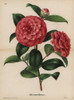 Scarlet And White Striped Camellia  Thea Japonica Poster Print By ® Florilegius / Mary Evans - Item # VARMEL10938671