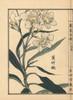 Kyouchikutou Or Oleander Flower  Nerium Oleander Var Indicum Poster Print By ® Florilegius / Mary Evans - Item # VARMEL10938718