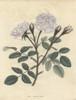 Variegated Moss Rose  Rosa Muscosa Variegata Poster Print By ® Florilegius / Mary Evans - Item # VARMEL10934449