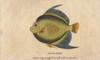 Angel Fish Or Monk Fish  Pomacanthidae Poster Print By ® Florilegius / Mary Evans - Item # VARMEL10941053