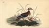 American Wood Duck  Aix Sponsa Poster Print By ® Florilegius / Mary Evans - Item # VARMEL10936338