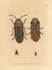 Death Watch Beetle  Xestobium Rufovillosum Poster Print By ® Florilegius / Mary Evans - Item # VARMEL10940229