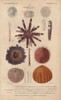Different Types Of Colorful Sea Urchins And Their Spines Poster Print By ® Florilegius / Mary Evans - Item # VARMEL10940956